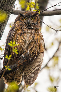 GREAT HORNED - SUFFOLK CTY.