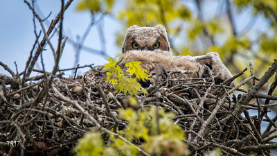 GREAT HORNED OWLS - NASSAU CTY.