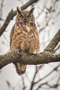 GREAT HORNED - SUFFOLK CTY. PKWY.