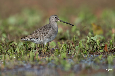 LONG BILLED DOWITCHER - H.S.P.