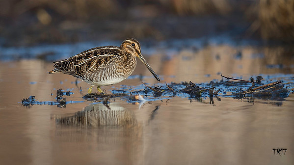 SNIPE - PATCHOGUE