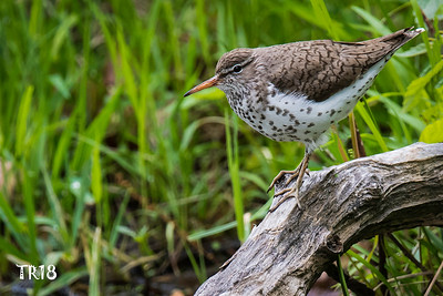 Spotted Sandpiper - FUCHS POND