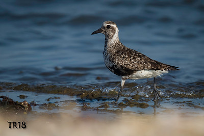 BLACK BELLIED PLOVER - SOUTHOLD