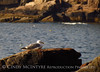 Herring Gull, Thunderhole, Acadia NP (2)