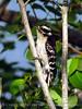 Downy Woodpecker, Acadia NP ME (6)
