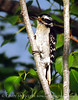 Downy Woodpecker, Acadia NP ME (3)