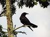 American Crow, ME (2)