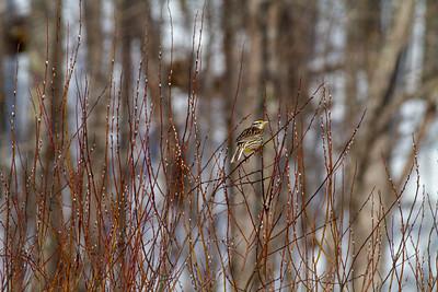 Eastern Meadowlark? in willows north of Bessemer MI-3249