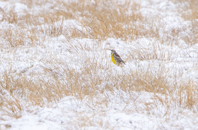 Eastern Meadowlark Firebird WMA Carlton County MN  IMGC6423