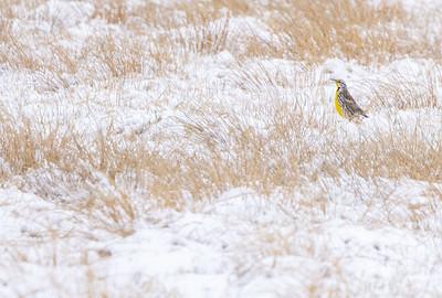 Eastern Meadowlark Firebird WMA Carlton County MN  IMGC6419