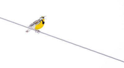 Eastern Meadowlark Firebird WMA Carlton County MN  IMGC6411