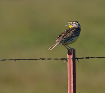 Western Meadowlark singing Rock Co MN _MG_5208