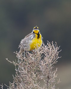Western Meadowlark Theodore Roosevelt National Park ND IMG_9366