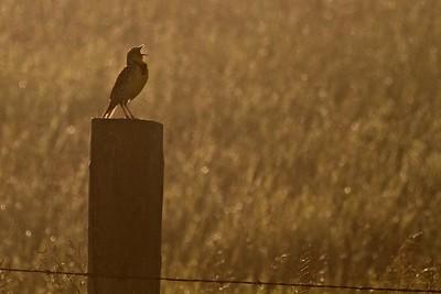 Western Meadowlark Kidder County ND IMG_1307