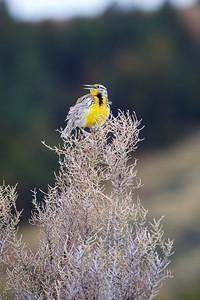Western Meadowlark Theodore Roosevelt National Park ND IMG_9363
