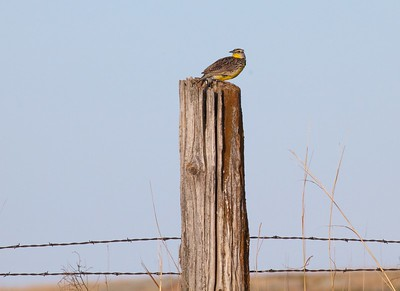 Western Meadowlark on fence post near Touch the Sky NWR Rock County MN IMG_9990 CR2