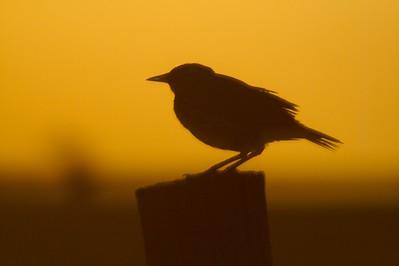 Western Meadowlark silhouette Rock Co MN _MG_5118