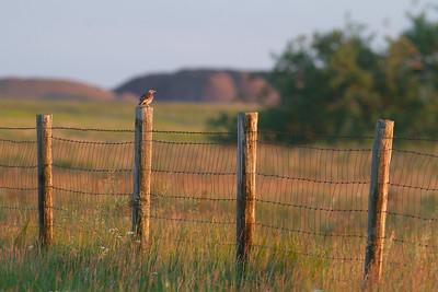 Western Meadowlark Felton Prairie Clay County MN -6428