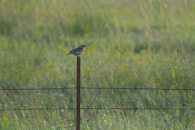Western Meadowlark Felton Prairie Clay County MN -6455