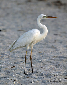 03-CS2912 This image of the Great Blue Heron-White Morph was taken on Sanibel Island, FL.  Note the yellow legs and lack of the long thin feathers on the back that the Great Egret has.