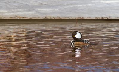 Hooded Merganser male St  Louis River near Fond du Lac Duluth MNIMG_5937