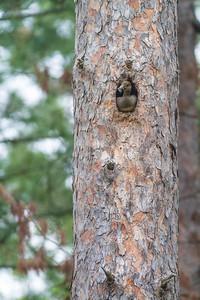 Hooded Merganser female nest old Pileated hole Echo Trail Ely MNIMG_0177