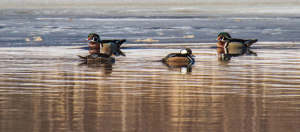Wood Duck Hooded Merganser St  Louis River Fond du Lac Duluth MN-1529-2