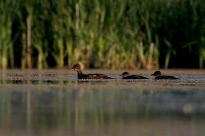 Hooded Merganser family [July; Tobin-Kimmes Wetlands, Douglas County, Wisconsin]