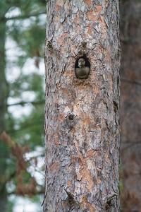 Hooded Merganser female nest old Pileated hole Echo Trail Ely MNIMG_0168