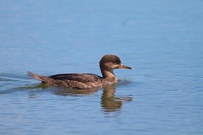 Hooded Merganser juvenile Moose Lake Sewage Ponds MN IMG_6882
