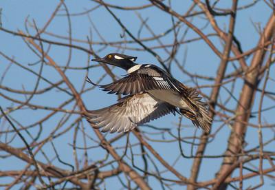 Hooded Merganser male St  Louis River near Fond du Lac Duluth MNIMG_5945