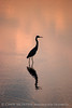Tricolored Heron silhouette, Merritt Is NWR FL (4)