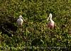Roseate Spoonbill, Merritt Island NWR FL (25)
