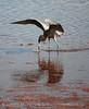 Reddish Egret, Merrit Island NWR FL (23)