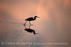 Tricolored Heron silhouette, Merritt Is NWR FL (3)