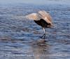Reddish Egret, Merrit Island NWR FL (3) copy 2