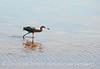 Reddish Egret, Merrit Island NWR FL (15)