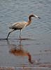 Reddish Egret, Merrit Island NWR FL (24)