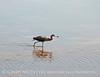 Reddish Egret, Merrit Island NWR FL (16)