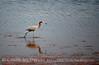 Reddish Egret, Merrit Island NWR FL (25)