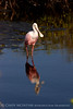 Roseate Spoonbill, Merritt Island NWR FL (8)