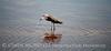 Reddish Egret, Merrit Island NWR FL (18)