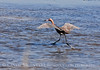 Reddish Egret, Merrit Island NWR FL (2)