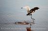 Reddish Egret, Merrit Island NWR FL (19)