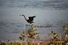 Reddish Egret, Merrit Island NWR FL (21)