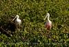 Roseate Spoonbill, Merritt Island NWR FL (22)