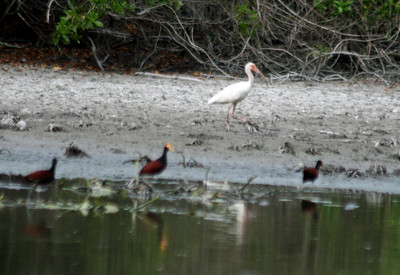 White Ibis & Northern Jacana