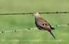 Mourning dove, Nebraska (2)