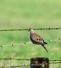 Mourning dove, Nebraska (1)