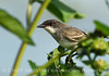 Eastern Kingbird, Nebraska (3)